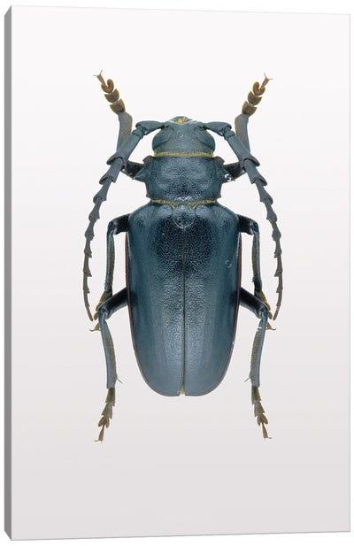 Beetle III Canvas Art Print