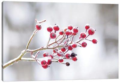 Winter Berries I Canvas Art Print
