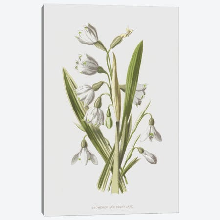 Snowdrop And Snowflake (Illustration From Familiar Wild Flowers, 2nd Series) Canvas Print #FEH10} by Frederick Edward Hulme Canvas Wall Art