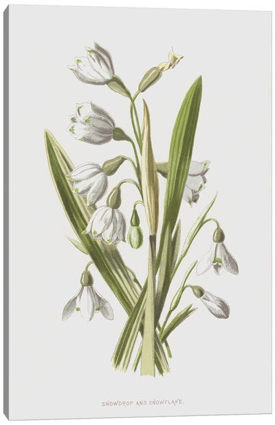 Snowdrop And Snowflake (Illustration From Familiar Wild Flowers, 2nd Series) Canvas Art Print