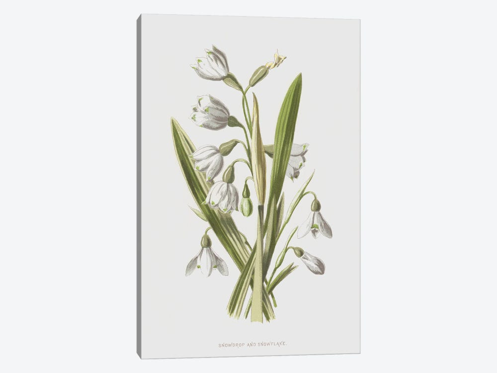 Snowdrop And Snowflake (Illustration From Familiar Wild Flowers, 2nd Series) by Frederick Edward Hulme 1-piece Canvas Art