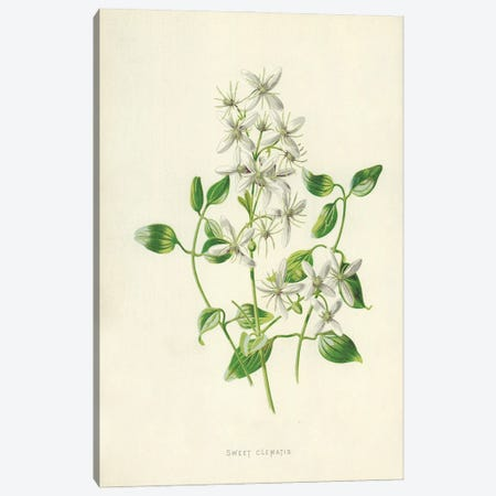 Sweet Clematis (Illustration From Familiar Garden Flowers, 2nd Series) Canvas Print #FEH11} by Frederick Edward Hulme Canvas Artwork
