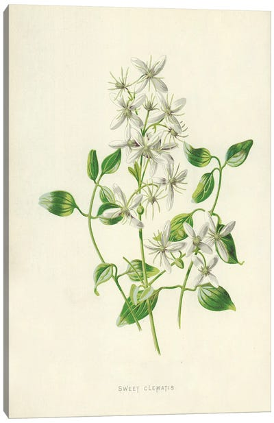 Sweet Clematis (Illustration From Familiar Garden Flowers, 2nd Series) Canvas Art Print