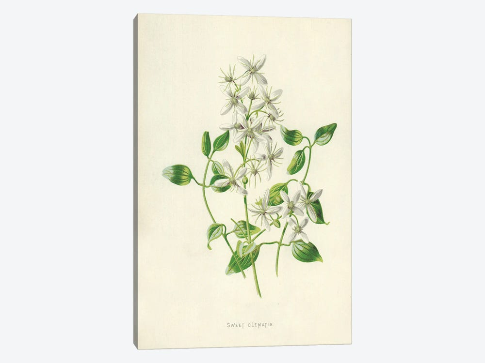 Sweet Clematis (Illustration From Familiar Garden Flowers, 2nd Series) by Frederick Edward Hulme 1-piece Art Print