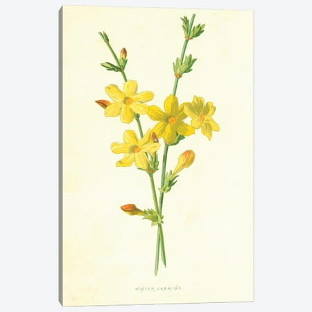 Winter Jasmine (Illustration From Familiar Garden Flowers, 1st Series) Canvas Print #FEH12} by Frederick Edward Hulme Canvas Art