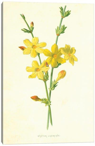 Winter Jasmine (Illustration From Familiar Garden Flowers, 1st Series) Canvas Art Print