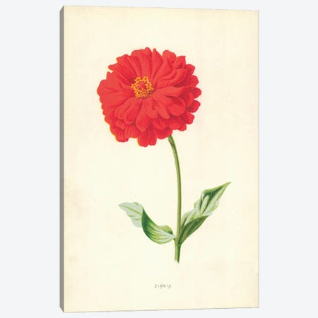 Zinnia (Illustration From Familiar Garden Flowers, 2nd Series) Canvas Print #FEH13} by Frederick Edward Hulme Canvas Art