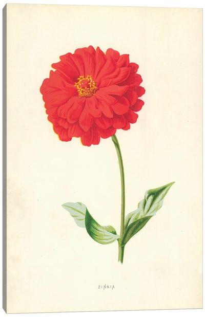 Zinnia (Illustration From Familiar Garden Flowers, 2nd Series) Canvas Art Print