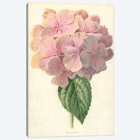 Hydrangea (Illustration From Familiar Garden Flowers, 3rd Series) Canvas Print #FEH2} by Frederick Edward Hulme Canvas Artwork