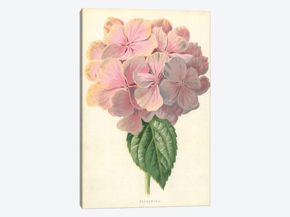Hydrangea (Illustration From Familiar Garden Flowers, 3rd Series) by Frederick Edward Hulme 1-piece Canvas Print