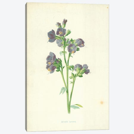 Jacob's Ladder (Illustration From Familiar Garden Flowers, 4th Series) Canvas Print #FEH3} by Frederick Edward Hulme Canvas Art