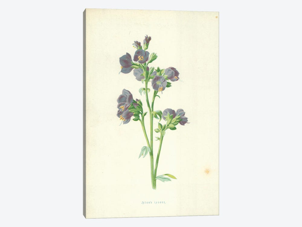 Jacob's Ladder (Illustration From Familiar Garden Flowers, 4th Series) by Frederick Edward Hulme 1-piece Canvas Wall Art