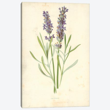 Lavender (Illustration From Familiar Garden Flowers, 1st Series) Canvas Print #FEH4} by Frederick Edward Hulme Canvas Print