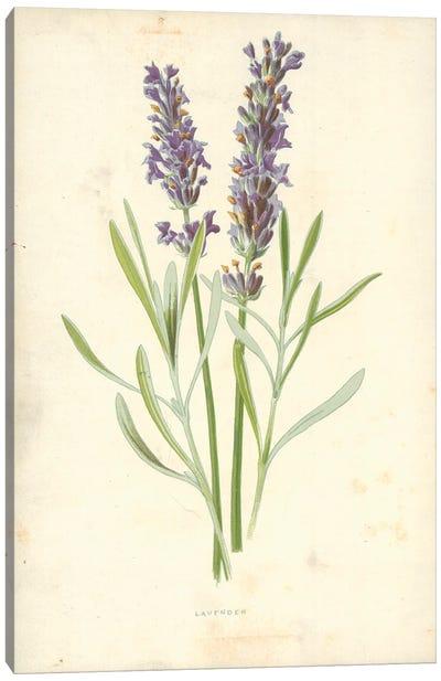 Lavender (Illustration From Familiar Garden Flowers, 1st Series) Canvas Art Print