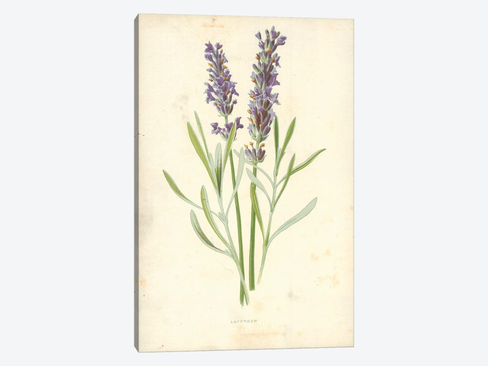 Lavender (Illustration From Familiar Garden Flowers, 1st Series) by Frederick Edward Hulme 1-piece Canvas Print