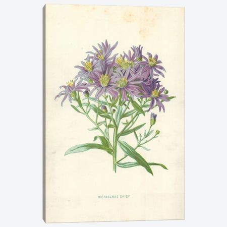Michaelmas Daisy (Illustration From Familiar Garden Flowers, 1st Series) Canvas Print #FEH5} by Frederick Edward Hulme Canvas Print