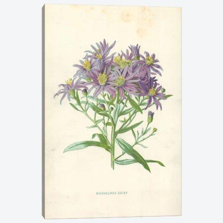 Michaelmas Daisy (Illustration From Familiar Garden Flowers, 1st Series) Canvas Print #FEH5} by Frederick Edward Hulme Canvas Print
