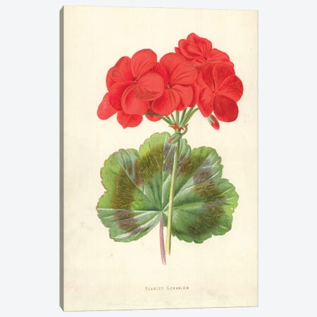Scarlet Geranium (Illustration From Familiar Garden Flowers, 2nd Series) Canvas Print #FEH6} by Frederick Edward Hulme Canvas Art Print