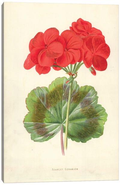 Scarlet Geranium (Illustration From Familiar Garden Flowers, 2nd Series) Canvas Art Print