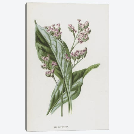 Sea Lavender (Illustration From Familiar Wild Flowers, 2nd Series) Canvas Print #FEH7} by Frederick Edward Hulme Canvas Art Print
