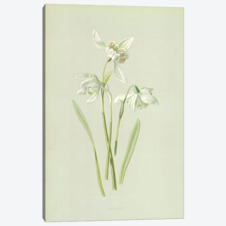 Snowdrop (Illustration From Familiar Garden Flowers, 1st Series) Canvas Print #FEH9} by Frederick Edward Hulme Canvas Artwork