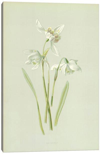 Snowdrop (Illustration From Familiar Garden Flowers, 1st Series) Canvas Art Print