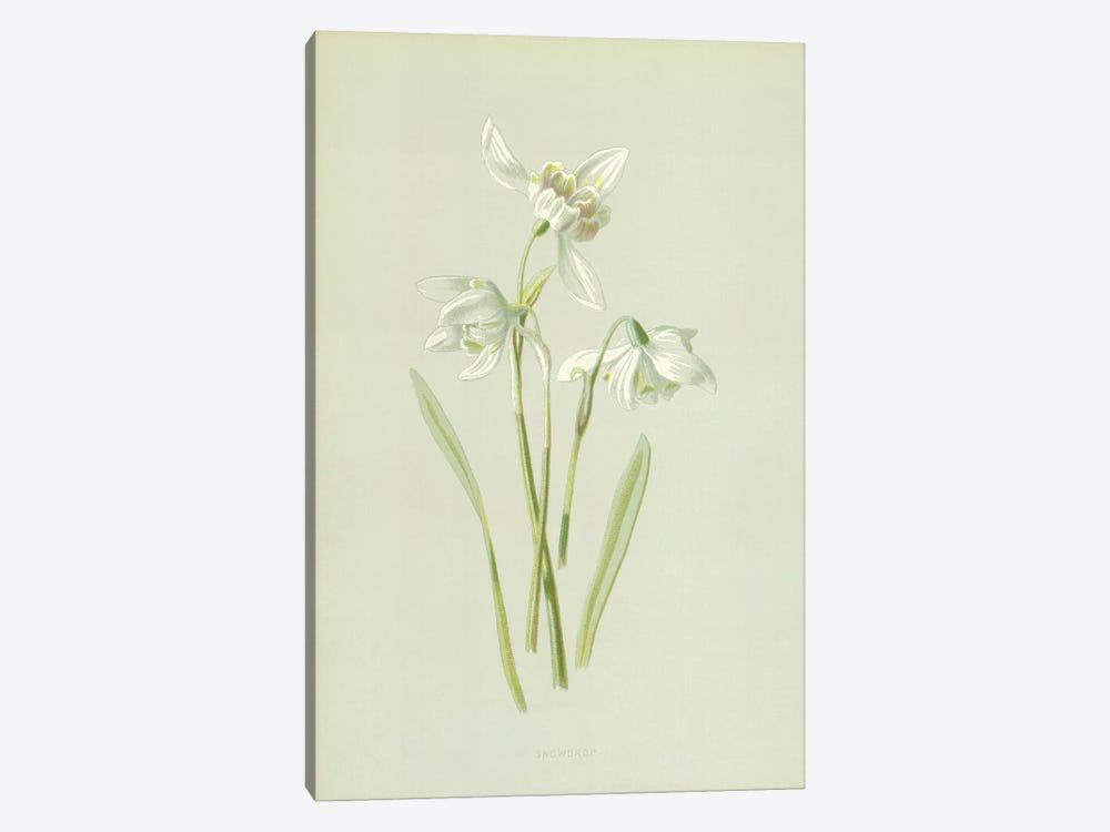 Snowdrop (Illustration From Familiar Garden Flowers, 1st Series) by Frederick Edward Hulme 1-piece Canvas Art