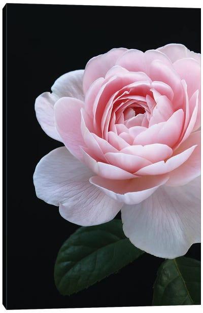 Pink English Rose Canvas Art Print