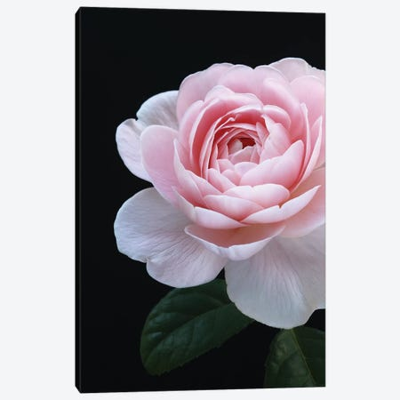 Pink English Rose Canvas Print #FEN102} by Alyson Fennell Canvas Artwork