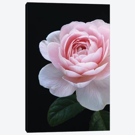 Pink English Rose Canvas Print #FEN102} by Alyson Fennell Canvas Artwork