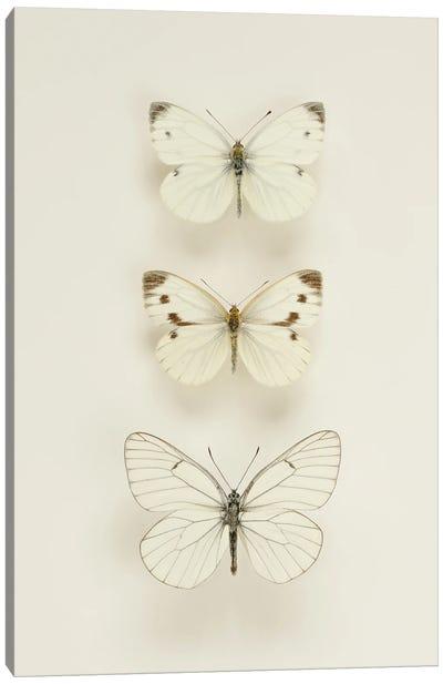 Three White Butterflies Canvas Art Print
