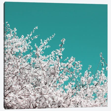 Blackthorn Blossom On Teal Sky Canvas Print #FEN109} by Alyson Fennell Canvas Art