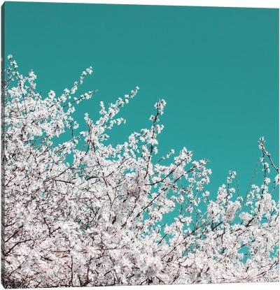 Blackthorn Blossom On Teal Sky Canvas Art Print