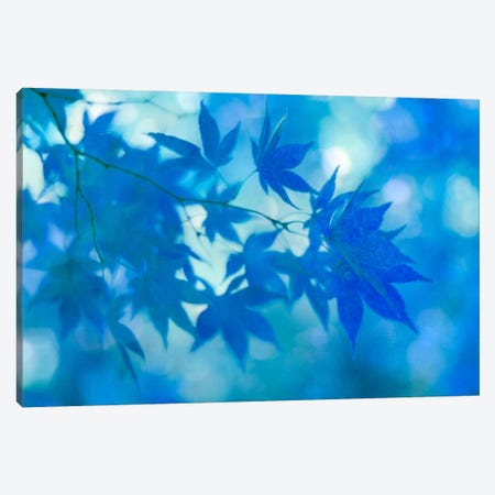 Blue Japanese Maple Leaves Canvas Print #FEN10} by Alyson Fennell Canvas Artwork