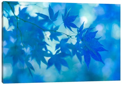 Blue Japanese Maple Leaves Canvas Art Print