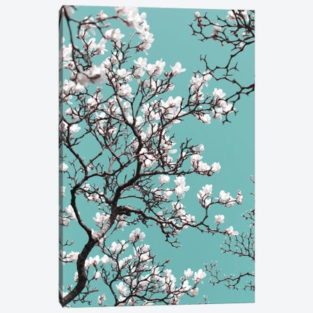 White Magnolia Blossom On Teal Sky Canvas Print #FEN110} by Alyson Fennell Canvas Art Print