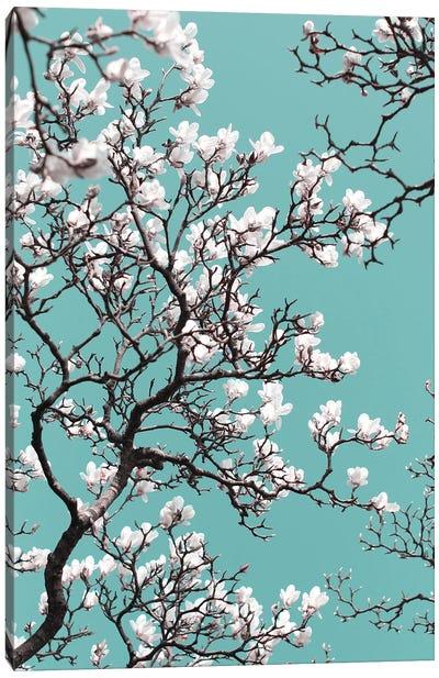 White Magnolia Blossom On Teal Sky Canvas Art Print