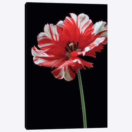 Parrot Tulip Canvas Print #FEN118} by Alyson Fennell Art Print