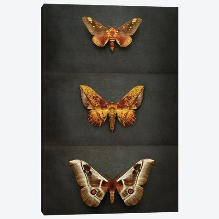 Moths Triptych Canvas Print #FEN119} by Alyson Fennell Art Print