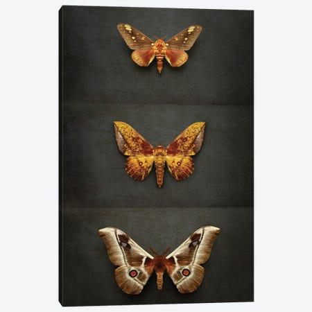 Moths Triptych Canvas Print #FEN119} by Alyson Fennell Art Print