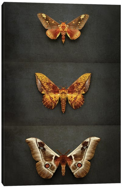 Moths Triptych Canvas Art Print