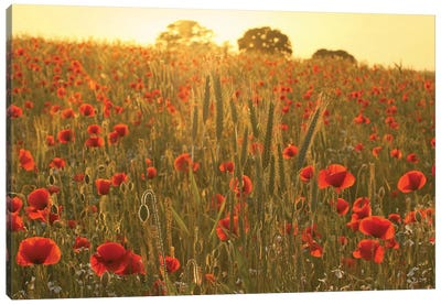 Summer Poppy Meadow Canvas Art Print