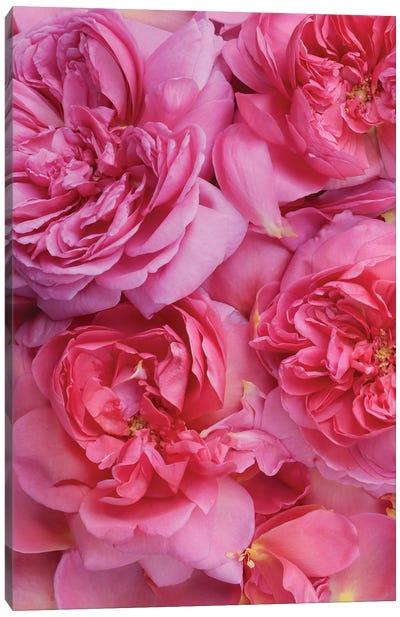 Pink English Rose Petals Canvas Art Print