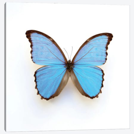 Electric Blue Morpho Butterfly Canvas Print #FEN129} by Alyson Fennell Canvas Artwork