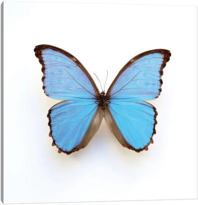 Electric Blue Morpho Butterfly Canvas Art Print