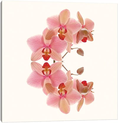 Soft Pink Orchid Arch Canvas Art Print