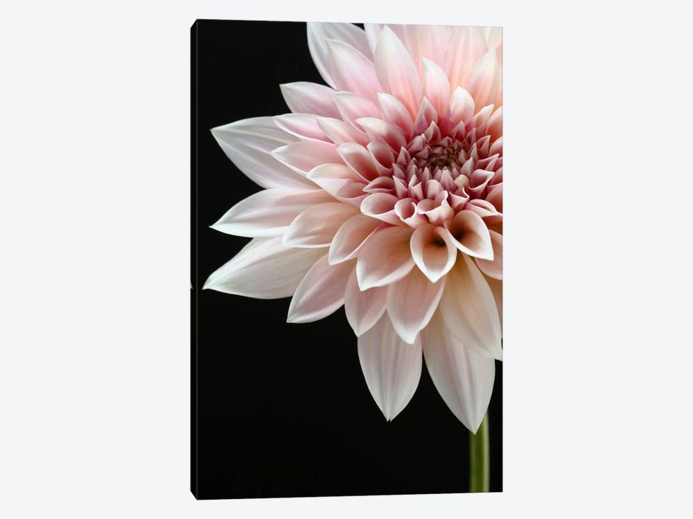 Cafe au Lait Dahlia by Alyson Fennell 1-piece Art Print