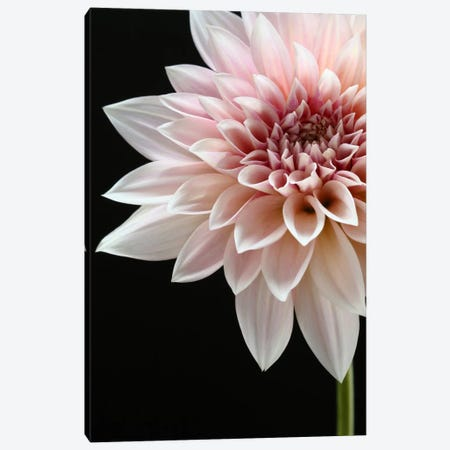 Cafe au Lait Dahlia 3-Piece Canvas #FEN13} by Alyson Fennell Canvas Artwork