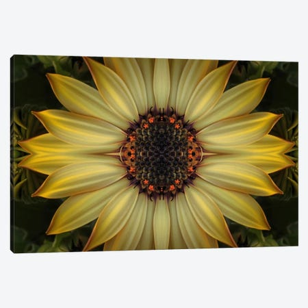 Cape Daisy Sun Star Canvas Print #FEN14} by Alyson Fennell Canvas Print