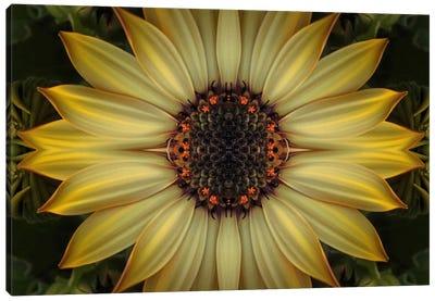 Cape Daisy Sun Star Canvas Art Print